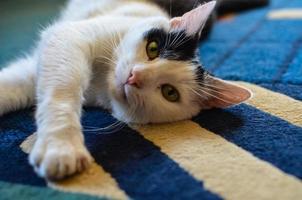 gato preto e branco deitado de costas no tapete foto