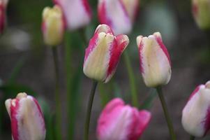 tulipas com bordas vermelhas foto