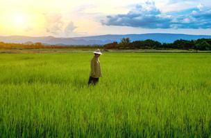 agricultora olhando mudas de arroz verdes em um campo de arroz com um lindo céu e nuvens foto