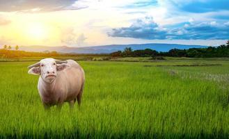 búfalos albinos tailandeses plantados nas mudas de arroz verde em um arrozal com um lindo céu e nuvens foto