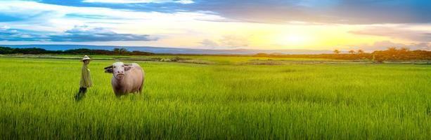 agricultora olhando mudas de búfalo e arroz verde em um arrozal com um lindo céu e nuvens foto
