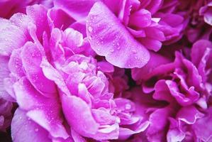 peônias rosa com gotas foto