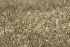papel de parede de trigo de campo de centeio foto