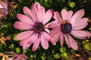 flores de margarida de capa rosa em fundo de folhas verdes escuras foto
