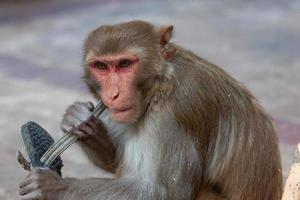 macaco rhesus no templo hanuman em jaipur, rajasthan, índia foto