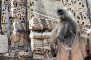 planícies do norte langur cinza no templo kumhshyam, chittorgarh, rajasthan, índia foto