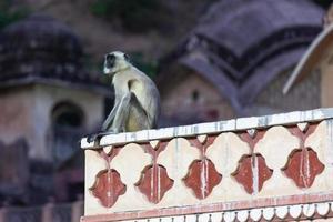 langur cinzento das planícies do sul no templo hanuman em jaipur, rajasthan, índia foto
