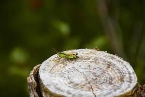 críquete na madeira foto