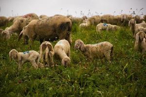 pastando ovelhas no campo foto