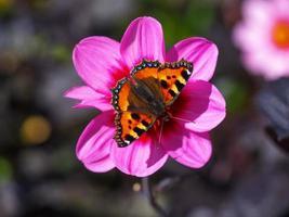 pequena borboleta de casco de tartaruga em uma flor rosa dália foto