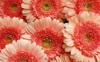 grandes flores rosa foto