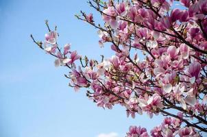 magnólia desabrochando em flores da primavera em uma árvore contra um céu azul brilhante foto