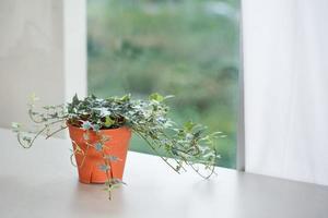 conceito de planta de casa de planta de hera inglesa foto