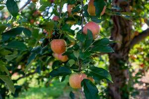 maçãs no pomar de maçã foto