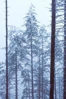 neve na floresta no inverno foto