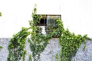janela com hera foto