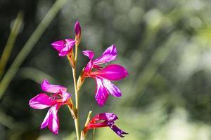 flores rosa no vapor foto