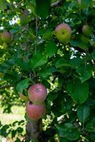 maçãs no pomar foto