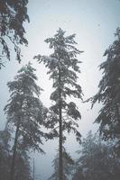 neve nos pinheiros da floresta foto
