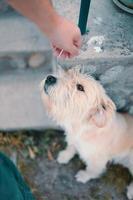 grande cachorro bege puxa seu focinho em direção a uma mão humana. foto