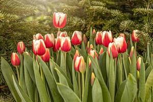 tulipas vermelhas em um canteiro de flores no jardim. Primavera. florescendo. pôr do sol foto