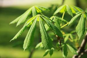 cavalo castanho de folhas verdes brilhantes em close-up foto