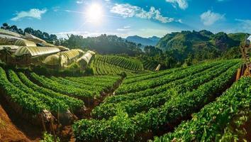 plantações de morango pela manhã têm um mar de neblina panoramas de ang khang chiang mai da tailândia foto