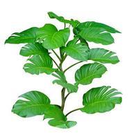 Monstera deixa folhas com isolado em fundo branco folhas em branco foto