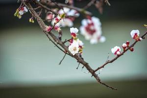 ramos floridos de uma árvore de damasco foto