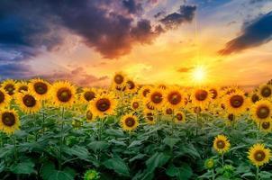 girassóis florescem e luz da manhã. foto