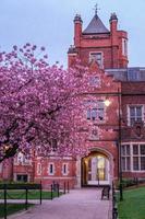 cereja japonesa prunus serrulata rainhas universidade belfast irlanda do norte reino unido foto