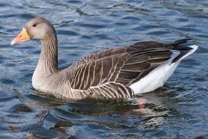 greylag goose anser anser belfast waterworks irlanda do norte reino unido foto