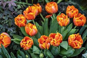 tulipas vermelho-amarelo em um canteiro de flores no jardim. Primavera. florescer foto