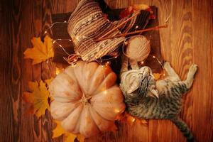 um gato malhado ao lado de uma abóbora madura, folhas caídas e um lenço de malha foto