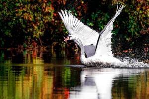 cisne na lagoa foto