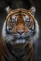 retrato de tigre sumatra foto