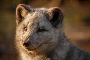 retrato de raposa ártica foto