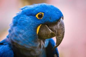 arara-azul no zoológico foto