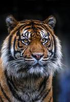 retrato do tigre sumatra foto