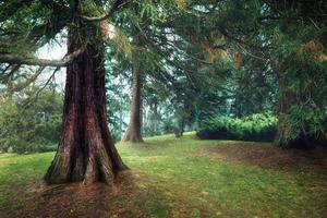 floresta de pinheiros nebulosos, névoa de primavera, clima matinal. foto