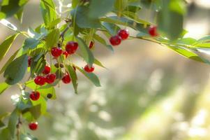 cerejas maduras sob o sol forte da manhã foto
