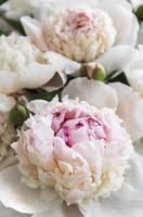 flores de peônia como um fundo natural foto