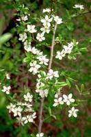 pequenas flores brancas de cerejeira selvagem em galho e folhas verdes foto