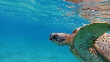 grande tartaruga verde nos recifes do mar vermelho. foto