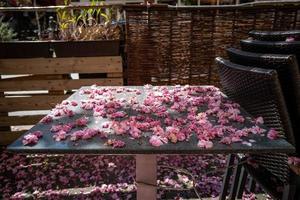 o fim da temporada de flor de cerejeira foto