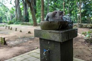 macaco na floresta de macacos ubud foto