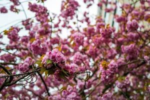 a temporada da flor de cerejeira em frankfurt foto