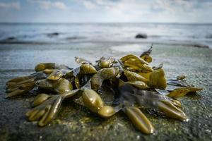 algas marinhas na praia de wilhelmshaven foto