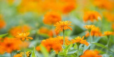 close-up de flor de laranjeira no jardim foto