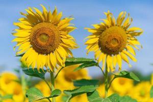 girassóis florescendo em fundo natural foto